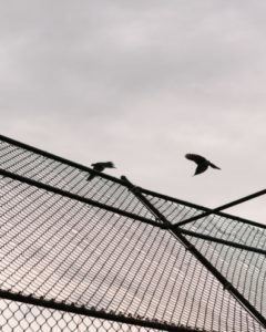 Two birds flying above a fence