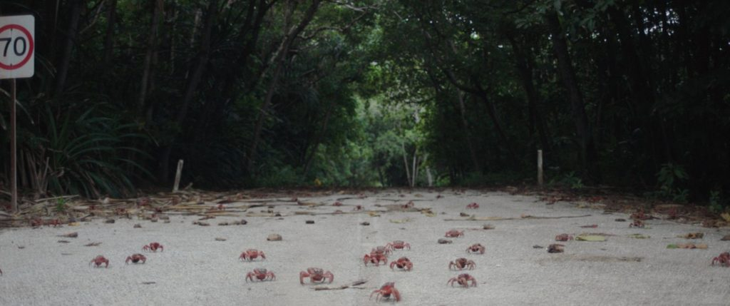 Migrating crabs on Christmas Island crossing paved road