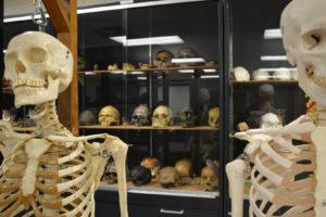 Full skeletons in the CSU Bone Lab