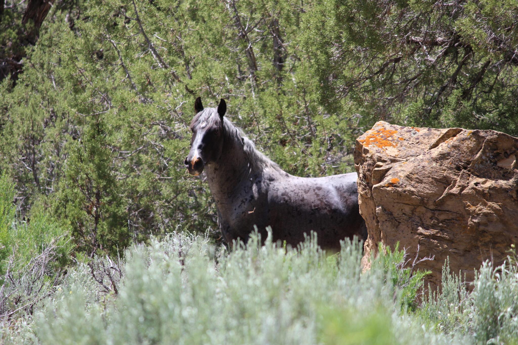 Stallion at Little Book Cliffs